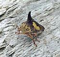 Thelia bimaculata - Locust Treehopper - Thelia bimaculata