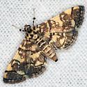 Checkered Apogeshna Moth - Hodges #5177 - Apogeshna stenialis
