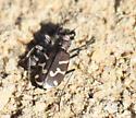 Oblique-lined Tiger Beetle - Cicindela tranquebarica
