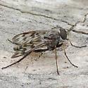 snipe fly - Rhagio - male
