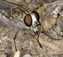 Two species known from this remote desert locale - Apiocera - male