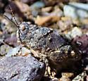 Unknown Grasshopper/Locust that hops short distances like a frog