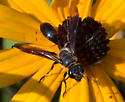 Isodontia apicalis or mexicana? - Isodontia mexicana