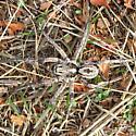Some Kind of Wolf Spider - Hogna carolinensis