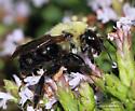 Bombus sp. - Bombus citrinus