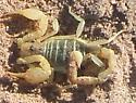 Scorpion - Paruroctonus