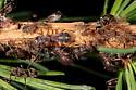 Cinara laricifex