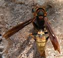Unknown wasp - Polistes comanchus - female