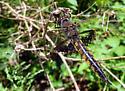 Dragonfly, orange/gold along body - Epitheca semiaquea