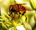 Flower fly ? - Palpada vinetorum