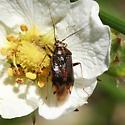 Miridae - Lygus shulli - female