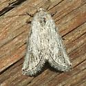 Moth - No-genus gracillinea