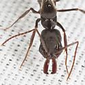 Alate Trapjaw Ant - Odontomachus