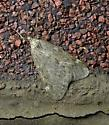 Alsophila pometaria  - Alsophila pometaria - male