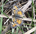 Brushfooted butterfly in field - Phyciodes phaon