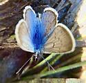 Butterfly  - Celastrina