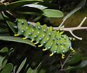 Hyalophora columbia