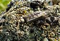 Longhorn Beetle - Tetropium