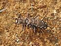 tiger beetles - Cicindelidia sedecimpunctata - male - female