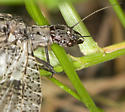 Southern Oregon Fishfly - Orohermes crepusculus