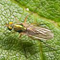 Metallic Green Fly - Dolichopus