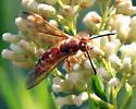 Paper Wasp - Sphecius convallis