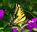 Please identify this Swallowtail. - Papilio multicaudatus