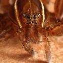 Fishing Spider - Dolomedes striatus