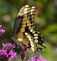 Papilio cresphontes? - Papilio cresphontes