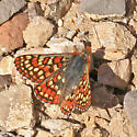 Checkerspot Butterfly - Euphydryas editha