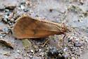 small moth or butterfly - Virbia aurantiaca