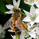 Pollinator 9 - Apis mellifera