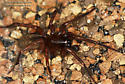 Amaurobiidae