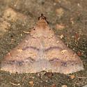 Moth - Discolored Renia - 8381 - Dorsal - Renia discoloralis