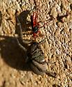 Is this Tachypompilus ferrugineus? - Tachypompilus ferrugineus