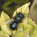 Megachilidae ?? - Osmia lignaria - male