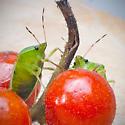 Tomato Invaders Plus 34 days - Nezara viridula