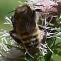 Bumble Bee on Flyr's Nemesis - Bombus pensylvanicus