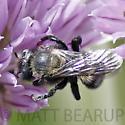 Black Bee - Hoplitis
