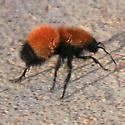 Pacific Velvet Ant (Dasymutilla aureola)  ? - Dasymutilla