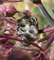 Salticidae - Jumping Spider - Phidippus johnsoni