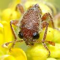 Trichodes peninsularis basilis - Trichodes peninsularis