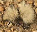 velvet ant - Dasymutilla sackenii - female