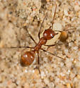 Western Amazon Ant - Polyergus mexicanus