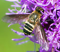 Another Beefly - Exoprosopa fasciata