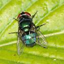 Chrysomya - Hairy Maggot Blow Fly? - Chrysomya - female