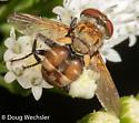Flower Fly? - Gymnoclytia