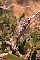 Clidophleps distanti - male