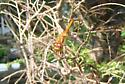 Autumn Meadowhawk? - Sympetrum vicinum