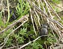 Stenomorpha lecontella - female